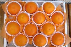 ブラッドオレンジ進物用