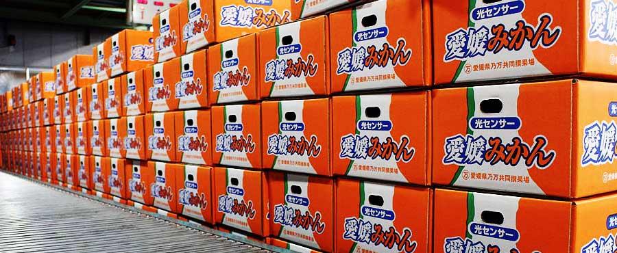 のま果樹園は年間100万ケース以上出荷の柑橘選果場